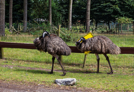 long legged: two gray ostrich clean their feathers in the outdoor aviary,against a pine forest