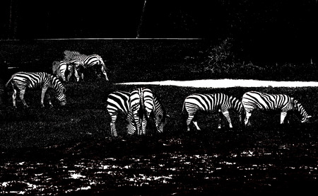 blackandwhite: herd of zebras in the zoo in black-and-white processing,eye-catching image
