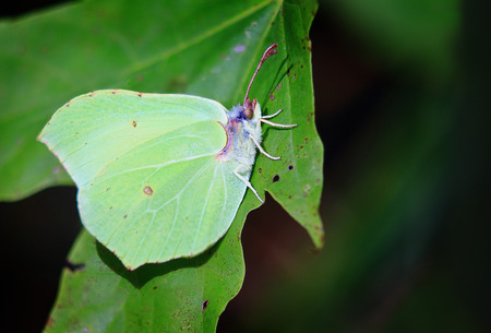 slut: little butterfly with the unusual color of the wings and the color of the leaves of the tree,a good disguise Stock Photo