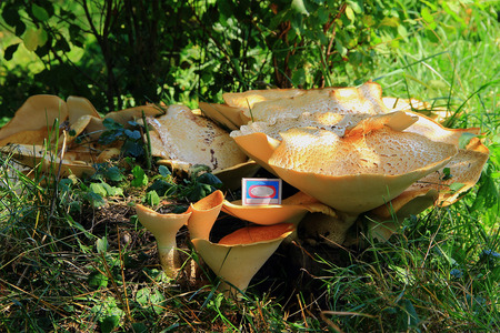 match box: summer day in the bushes on the old stump,found enormous size wood beige mushroom,comparing the size of a match box