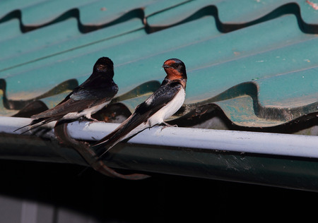 roof profile: two swallows in the village sat on the gutter of the roof,to bask in the sun Stock Photo
