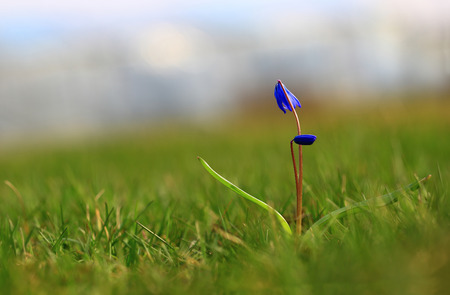 Under the blue sky.Under a blue spring sky, the green grass grows, as it were, with bowed head, blue snowdrop.