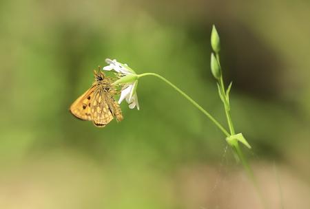 Moth.Dans la journée ensoleillée de printemps, le petit papillon collecte le nectar des fleurs.
