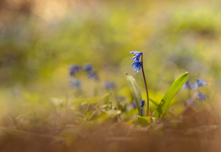 Being warmed by the sun.Under a blue spring sky, the green grass grows, as it were, with bowed head, blue snowdrop. Stock Photo