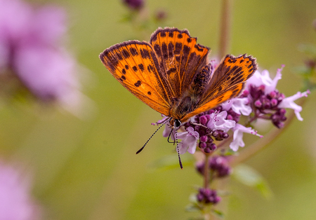 Fiery.Ogneno a red butterfly sits on a pink flower. Stock Photo