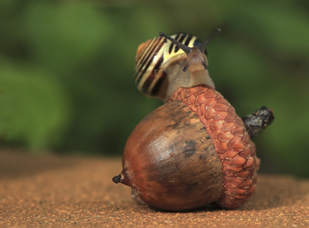 Equilibrist.The snail balances on the big acorn as the equilibrist. Stock Photo