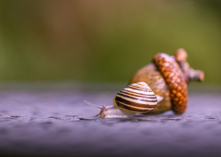 Snail and nut. The snail creeps away from a big acorn. Stock Photo