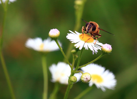 A large, goggle-eyed fly sits on a white, chamomile-like flower and rubs its paws. Stock Photo