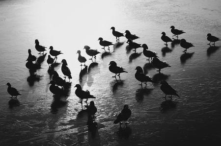 A flock of mandarin ducks walking on frozen lake Zdjęcie Seryjne