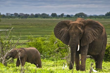 flapping: African Elephant Flapping ears with baby Stock Photo