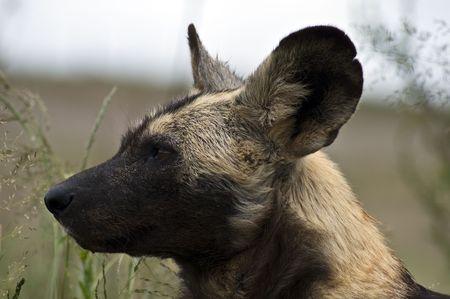 African Wild dog closeup photo