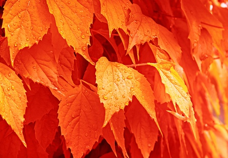 The orange autumn leaves with the drops of rain. Stock Photo - 10593800