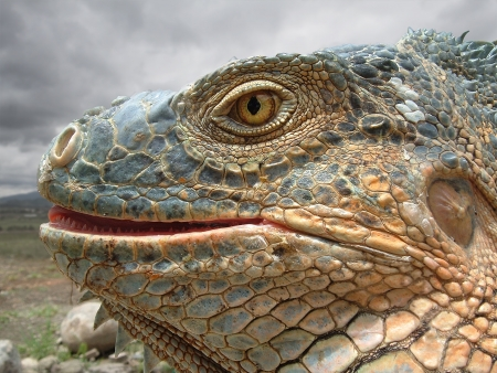 primal: Face of an Iguana Stock Photo
