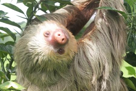 faultier: Faultier in Jungle B�ume Lizenzfreie Bilder
