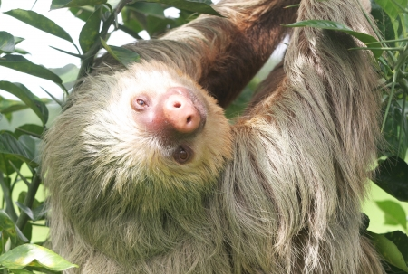 sloth: Sloth in Jungle Trees Stock Photo