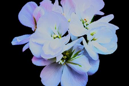 Geranium of a white color Stock Photo