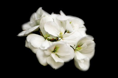 Photograph of flowers of white color in low key