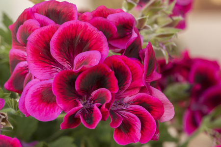 Macro photography of a red geranium thinking Stock Photo