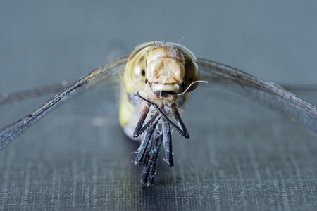 A macro photograph of a brown dragonfly