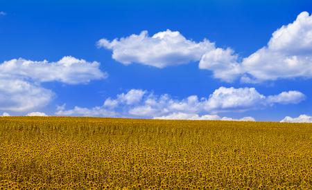 mancha: Sunflowers