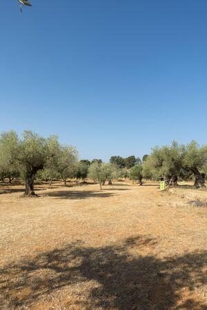 Centennial olive trees in San mateo, Via augusta de Castellon, Spain