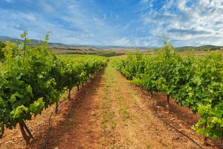 A great vineyard in La Rioja on a clear day, Spain