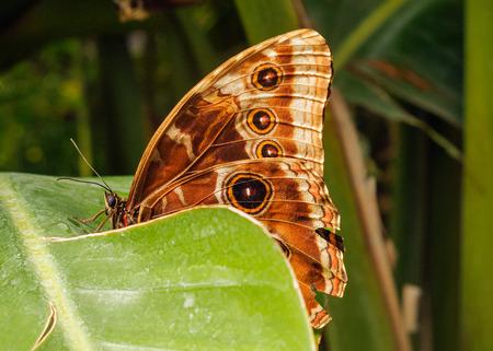 葉っぱの上で休んでいるモルフォペレイド蝶。証拠に動物の形態、翼の幾何学的かつカラフルなデザイン