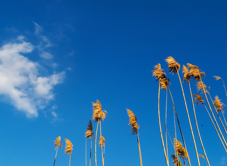Ravennagrass stems against the sky . The inflorescenze is a plume-like panicle of spikelets covered in pale-colred silky hairs.