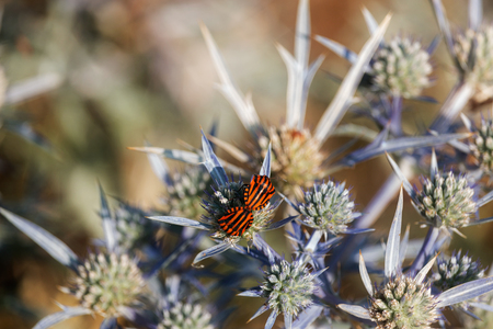 A couple of graphosomas ( italian striped bug ) is resting on a eryngiun flower (sea holly ).Black longitudinal stripes stand out against a blue flower and a out of focus background