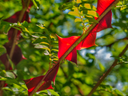 Close-up of the red winged thorns of the silky rose- pink sericea- in a sunny day in rome, detail of the toothed leaves