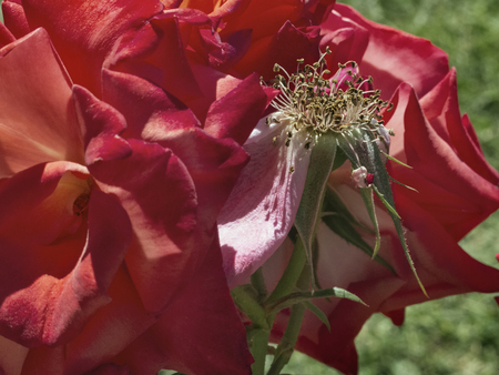 In the foreground rose stamens are surrounded by deep red petals ,bright sunny day , Фото со стока - 102727630