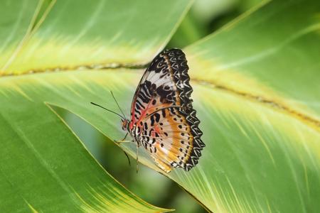 蝶 -セトシアビブリ - 葉の上に休んでいる、面白い足の姿勢、明るい色、印象的な幾何学的な翼の形