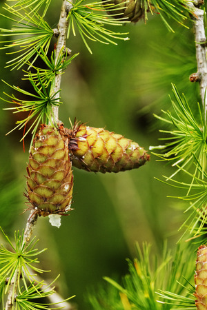 Fantastic larch tree section with cones and needles ,vertical composition , saturated colors , selective focus