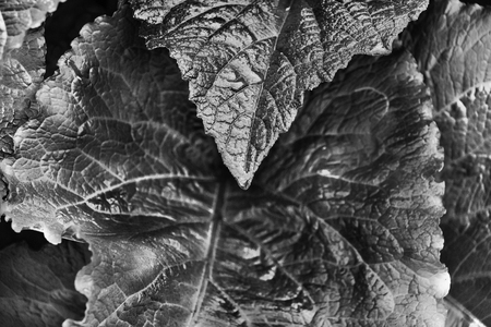 Fantastic  black and white leaves of a telekia speciosa plant , the plant is also called heartleaf oxeye or yellow oxeye ,shape and textured are emphasized