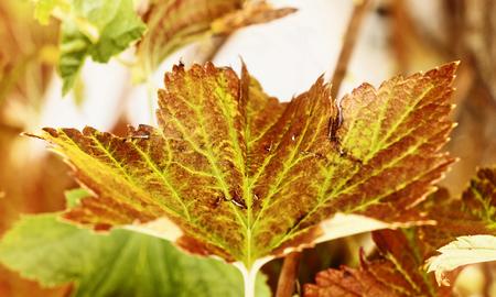 Fantastic blackcurrant leaf close up ,autumn colors , saturated colors, horizontal composition Banco de Imagens