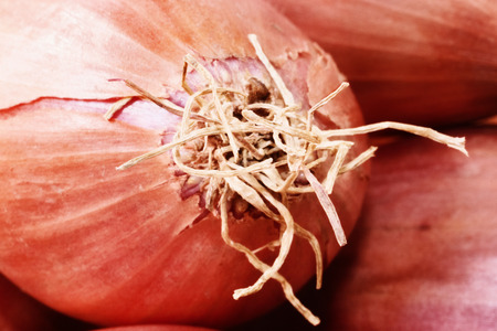 Section of shallots , in the foregound a beautiful broken bulb skin with bright roots, front view , studio shot ,bright copper colors