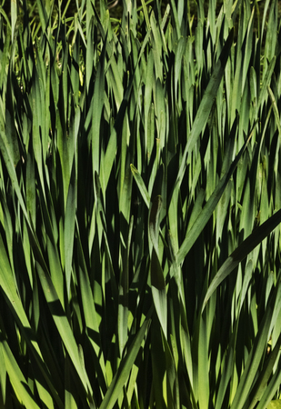 Fantastic narcissus plant (daffodil -chinese sacred lily), a bed of thin flat and green leaves