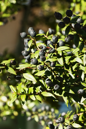 Fantastic branch of myrtle with blue-black fruit, -myrtus communis .