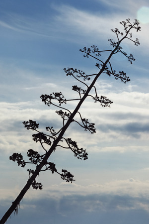 A long flowering branch of agave against the blue sky ,high contrast ,