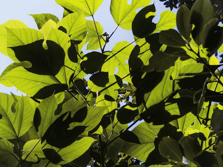 Fantastic green leaves  close up ,foliage against the sky , shadows and shapes