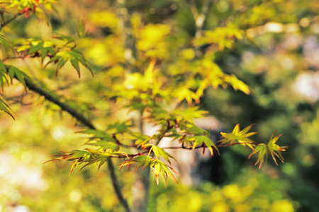 Japanese  maple -acer palmatum - background , beautiful green leaves with red edges  ,leaves with seven lobes and  pointed lobes