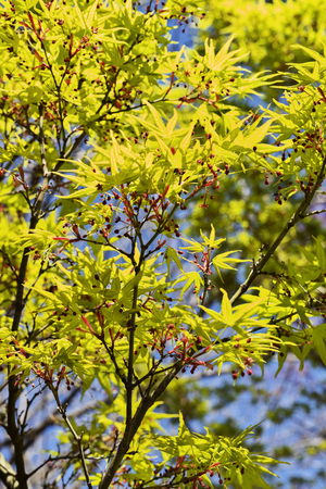 Japanese  maple -acer palmatum - tree  , beautiful green leaves with red flowers  ,leaves with seven lobes and  pointed lobes