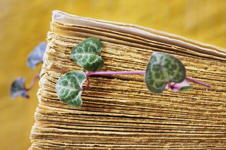 En primer plano, las hojas frescas de la planta ceropegia entre las páginas de un libro antiguo, las hojas verdes y púrpuras tienen forma de corazones, el fondo es amarillo y está desenfocado.
