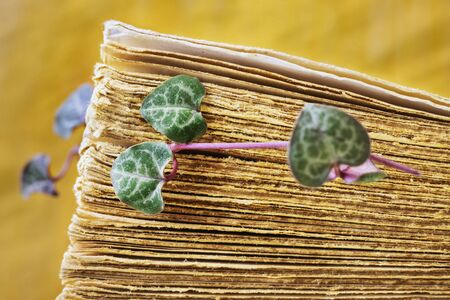 In the foreground fresh leaves of ceropegia plant between old book pages , the green and purple leaves are shaped like hearts , ,the background is yellow and out of focus