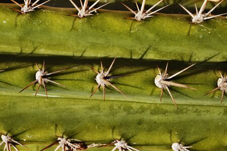 succulent plant -cereus-close up, areroles and spines details, beautiful spines shadows Banco de Imagens