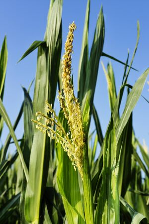 Field of maize in a sunny day against blue sky ,green leaves with yellow male flower close up