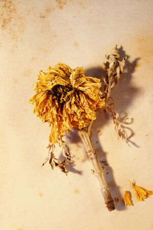 Close up of wilted orange flower of common marigold also called calendula or pot marigold  on old stained paper