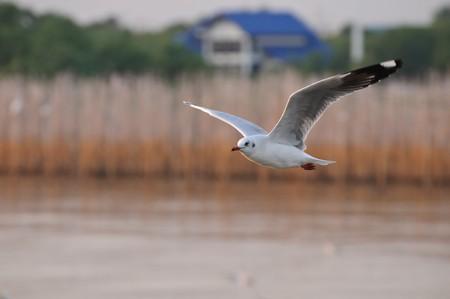gliding: Seagull gliding no.1