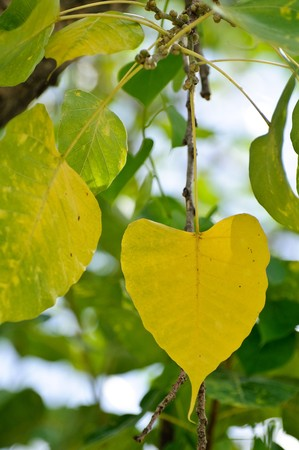 Hojas de árbol de bodhi.  Foto de archivo - 7272330