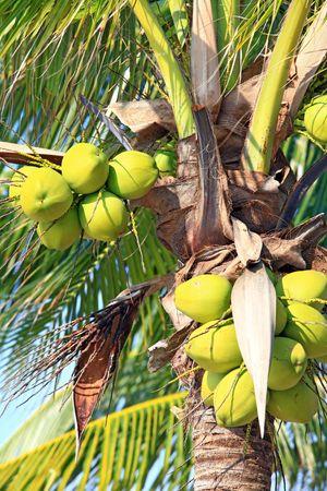 closeup of tropical coconut photo
